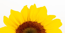 Beautiful Large Decorative Sunflower With Big Yellow And Red Petals