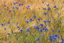 Blüten Der Kornblume (Centaur...