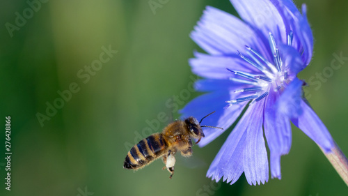 Foto auf Leinwand Bienen Yellow and black honey bee pollinating a blue wild flower, Cichorium Chicory close up