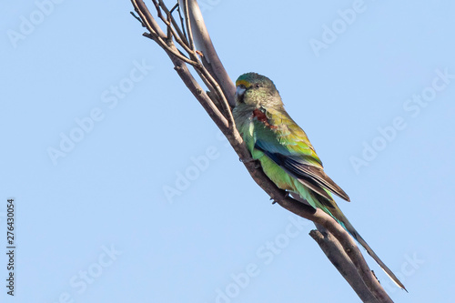 Mulga Parrot (Psephotus varius). Walpeup, Victoria, Australia Canvas-taulu