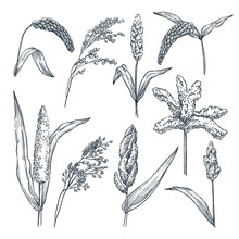 Different Type Of Millet Cereal Spikelets. Vector Hand Drawn Sketch Illustration. Grain Crop, Agriculture Food Products
