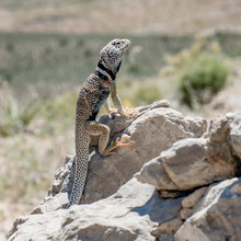 Great Basin Collared Lizard, Basin And Range National Monument