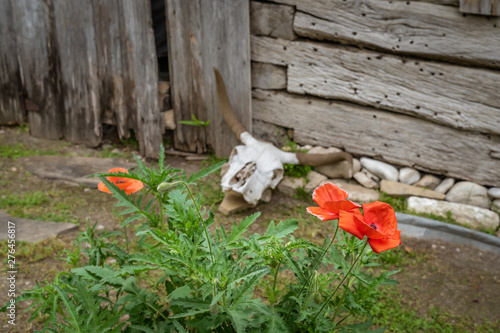 Red poppies in foreground with cow skull in background