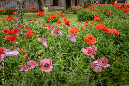 Clusters of pink and red poppies