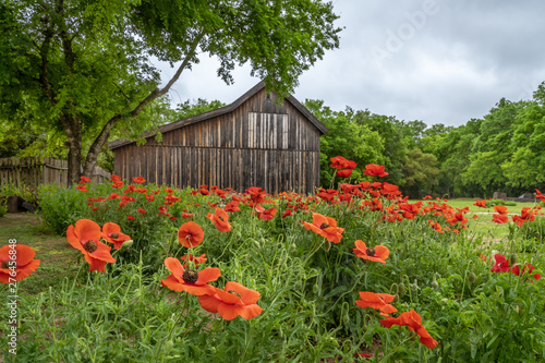 Clusters of vivid red poppies