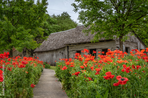 Sidewalk lined with clusters of vivid red poppies