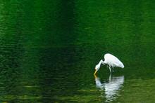 White Egret In The Pond