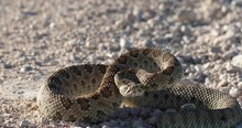 Prairie Rattlesnake Coiled Up And Ready To Strike In 4k.