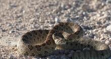 Prairie Rattlesnake Coiled Up ...