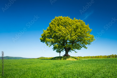 Solitary Oak Tree in Green Field under Blue Sky in Spring