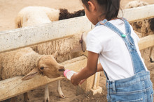 Cute Asian Child Girl Is Feeding A Bottle Of Milk To Little Lamb In The Zoo