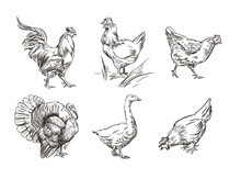 A Set Of Images Of Domestic Birds. Rooster, Turkey, Hens And Goose. Sketch Graphics.