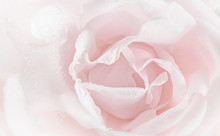 Pink Rose Petals Close-up
