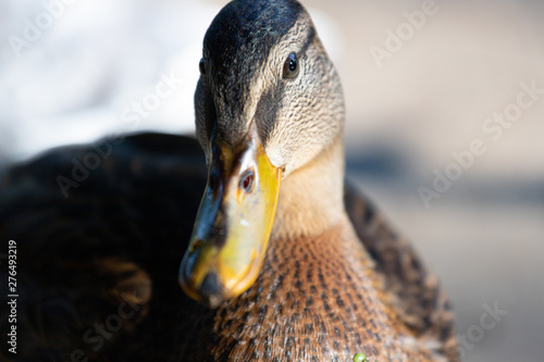 Close-up of a mallard duck on the water swimming in a pond Canvas Print