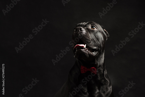 Slika na platnu Black cane corso portrait with a red bow in studio with black background
