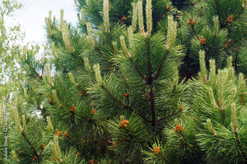 Obraz Young shoots of black pine full of male flowers. - fototapety do salonu