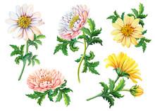 Set Of Watercolor Chrysanthemu...