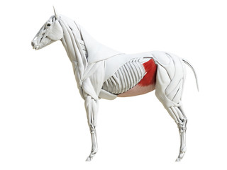3d rendered medically accurate illustration of the equine muscle anatomy - obliquus internus abdominis