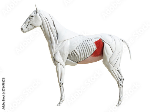 Fototapeta 3d rendered medically accurate illustration of the equine muscle anatomy - obliq