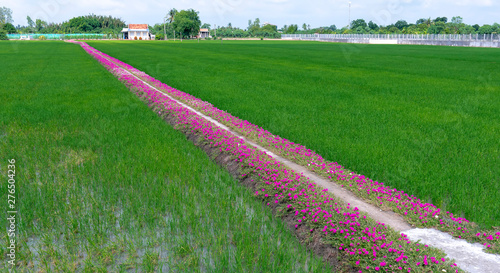 Fotobehang Groene Portulaca grandiflora flowers bloom along the trail leading to the farmer's house with two beautiful and peaceful young rice fields