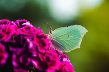 Macro Photo Of A White Butterfly On A Pink Flower In Summer