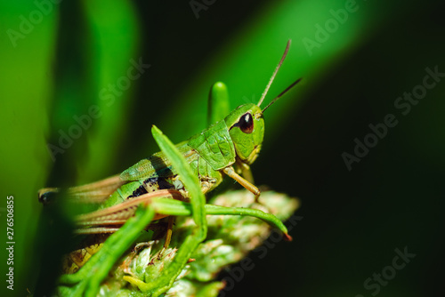 Canvas Print Macro photo of green grasshopper on grass in summer