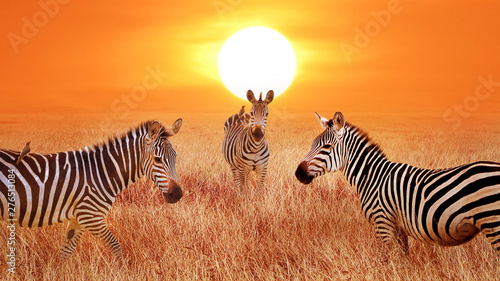 Zebras at sunset in the Serengeti National Park. Tanzania. Wild life of Africa. Artistic african image.