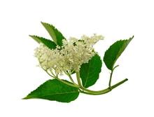 The Elder Or Elderberry (Sambucus Nigra) Isolated On White Background