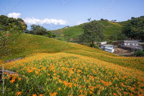 Obraz na plátně Beautiful orange daylily flower farm on Liushidan mountain (Sixty Rock Mountain)
