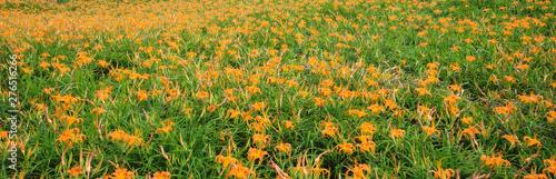 Fotografie, Obraz Beautiful orange daylily flower farm on Liushidan mountain (Sixty Rock Mountain)