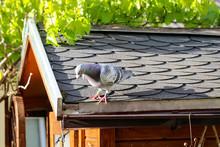 Eine Taube Auf Dem Dach
