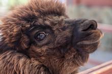 Close Up Portrait Of Cute Brown Alpaca
