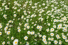 Glade Of Daisies. Beautiful Wi...