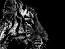 Black And White Tiger Portrait...