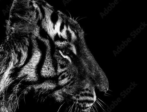In de dag Tijger black and white tiger portrait in detail
