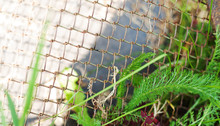 Green Leaves Entangled Into Old Rusty Wire Mesh Fence. Old Rusty Iron Grid. Wire Mesh Grid Texture. Grunge Backdrop. Rustic Textures. Shattered Area