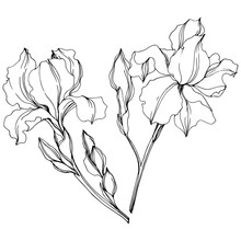 Vector Irises Floral Botanical Flowers. Black And White Engraved Ink Art. Isolated Irises Illustration Element.