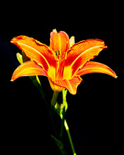 Orange Daylily Hemerocallis Fl...