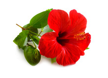 Red Hibiscus Known As Rose Mal...
