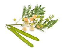 Leucaena Leucocephala, Common Names Include White Leadtree, Jumbay, River Tamarind, Subabul, And White Popinac. Isolated