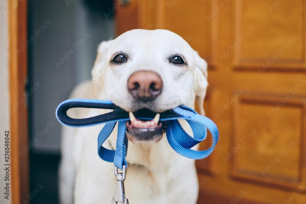 Fototapety, obrazy: Dog waiting for walk