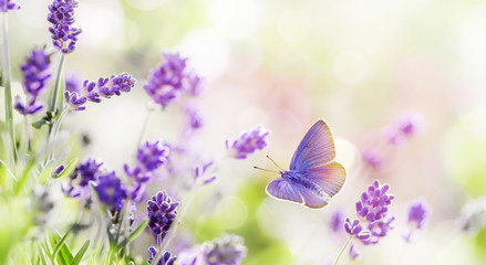 Naklejka Do kuchni Blossoming Lavender and butterfly summer background