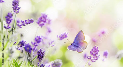 Cuadros en Lienzo Blossoming Lavender and butterfly summer background