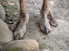 Snapshot Of An Ostrich's Feet