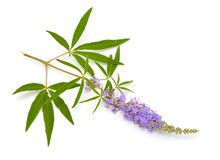 Vitex Agnus-castus, Chaste Tree Or Chastetree, Chasteberry, Abraham's Balm, Lilac Chastetree Or Monk's Pepper.