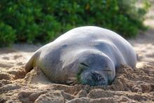 Hawaiian Monk Seal On The Beach