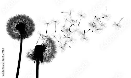 Shiluete grown dandelion and dandelion on white background