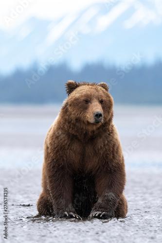 Photo Grizzly bear in alaska