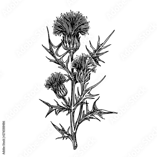 Thistle branch with three flowers Canvas Print
