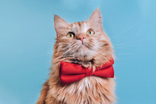 Red Cat With Pink Bowtie Front View. Gentleman-like Fluffy Domestic Animal On Turquoise Background. Adorable Feline Pet Looking Upwards With Magenta Accessory On Blue Backdrop. Cute Curious Kitty